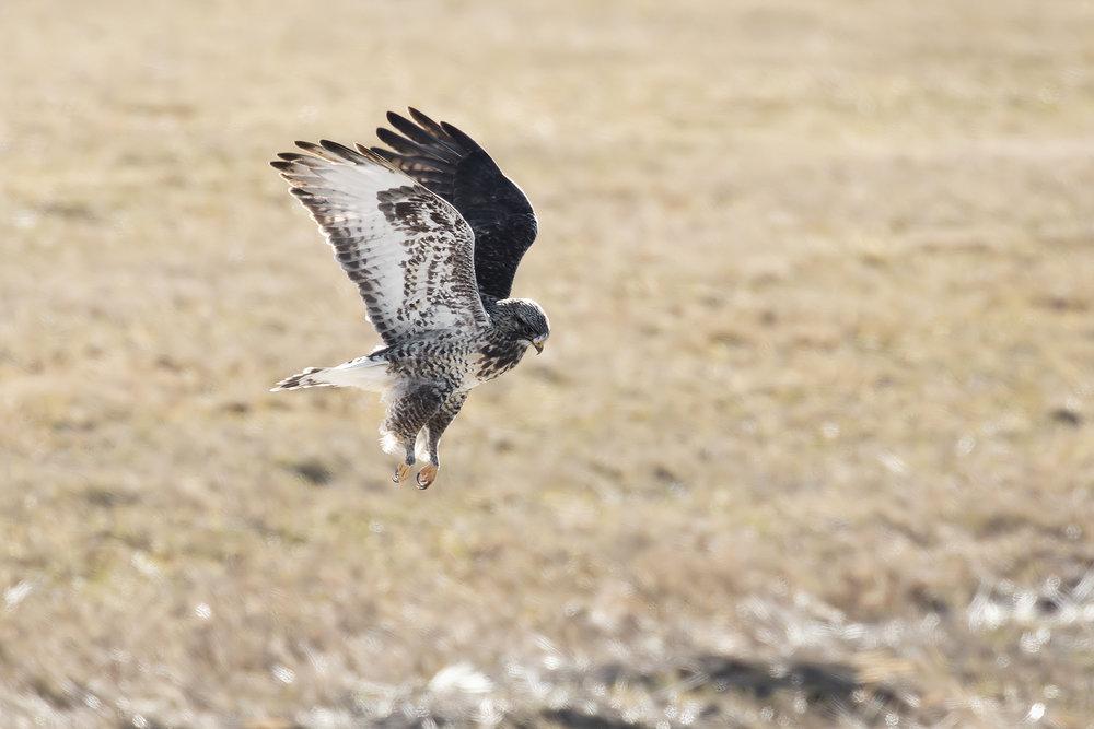 BRimages-Rough-legged Hawk.jpg