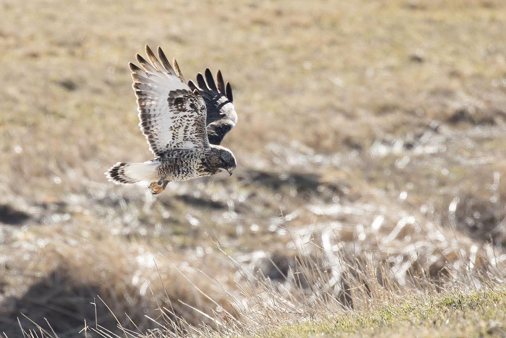BRimages-Rough-legged Hawk2.jpg