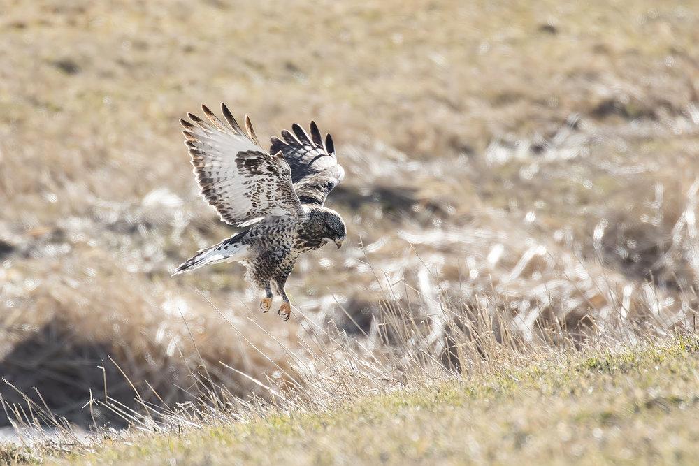 BRimages-Rough-legged Hawk3.jpg