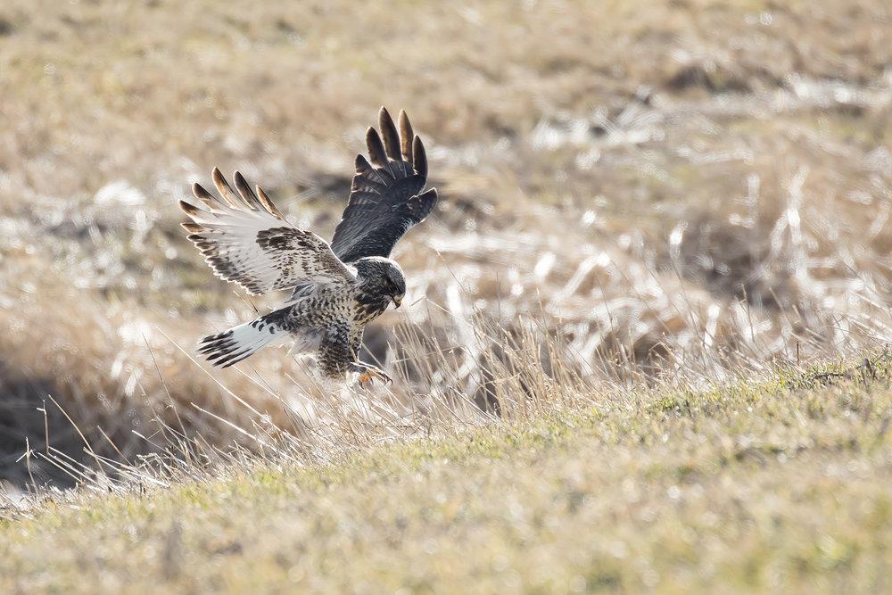 BRimages-Rough-legged Hawk4.jpg