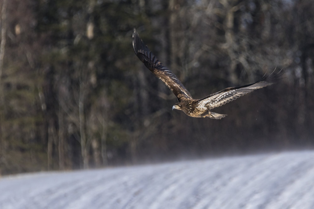 Canon 7D mk II, Sigma 150-600mm Contemporary @ 600mm, 1/1600, f/8, ISO 320 and -1 Exposure Compensation