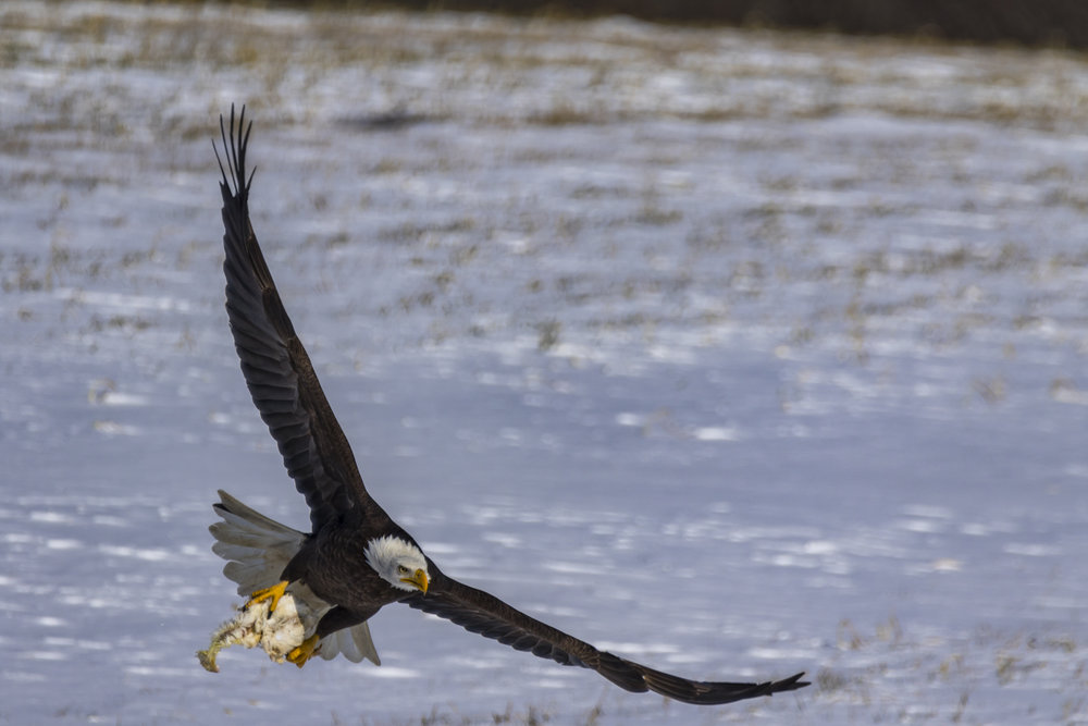 Canon 7D mk II, Sigma 150-600mm Contemporary @ 600mm, 1/1600, f/7.1, ISO 100 and -1 Exposure Compensation