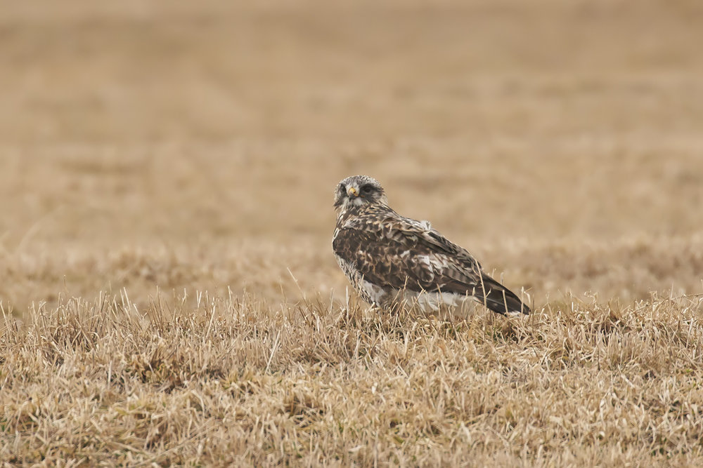 BRimages.ca rough-legged hawk tantramar marsh new brunswick.jpg