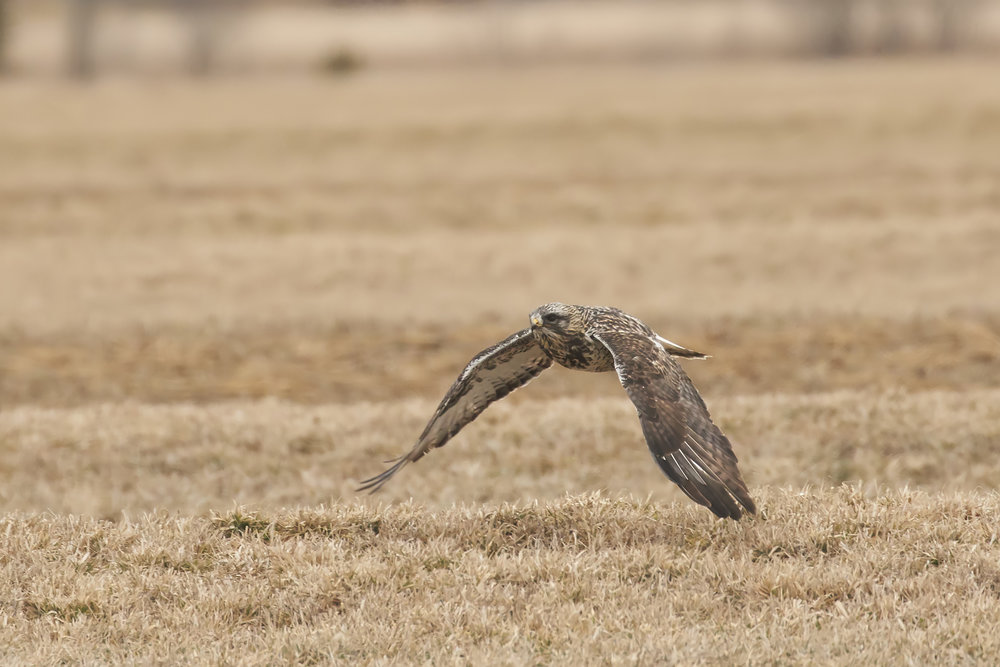BRimages.ca rough-legged hawk tantramar marsh new brunswick 2.jpg