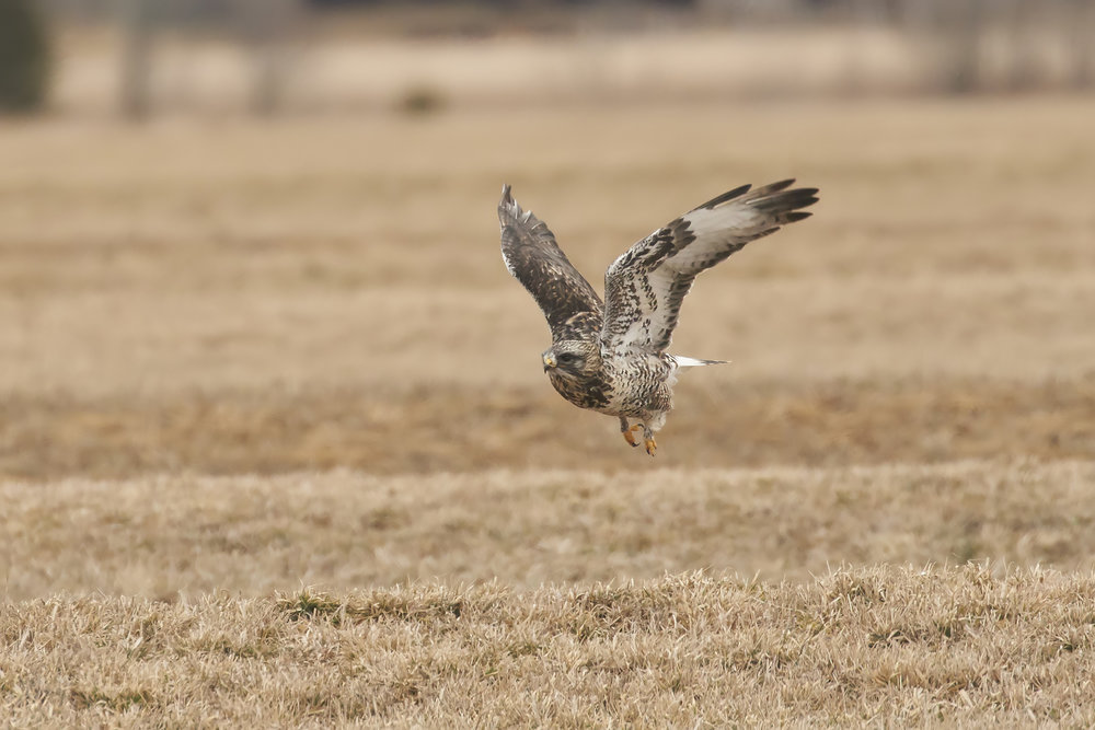BRimages.ca rough-legged hawk tantramar marsh new brunswick 3.jpg