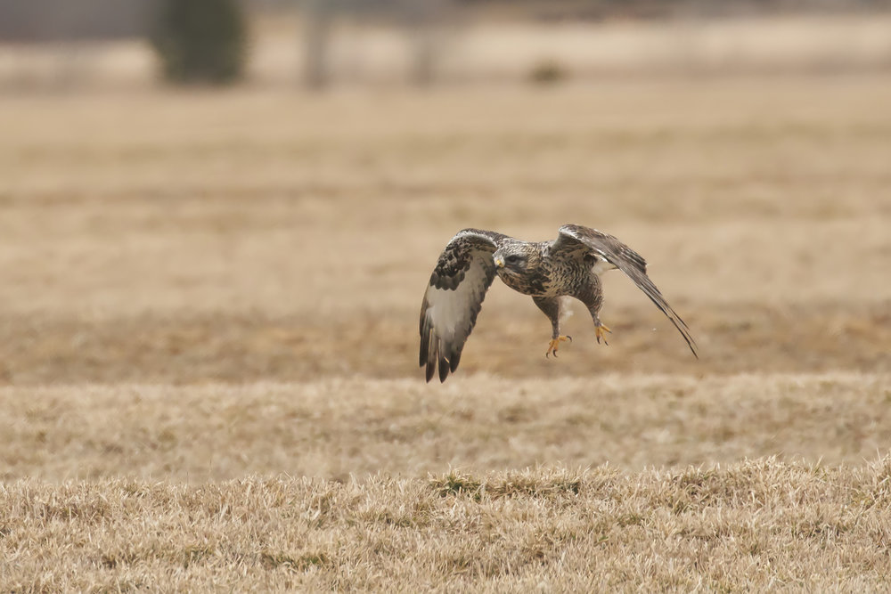 BRimages.ca rough-legged hawk tantramar marsh new brunswick 5.jpg