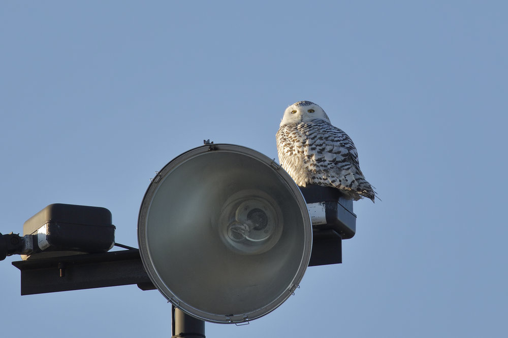 snowy owl - saint john - nb - brimages.ca