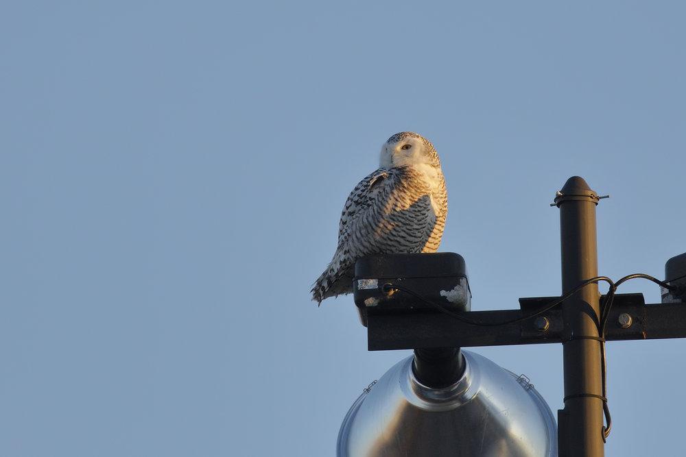 snowy owl (3) - saint john - nb - brimages.ca
