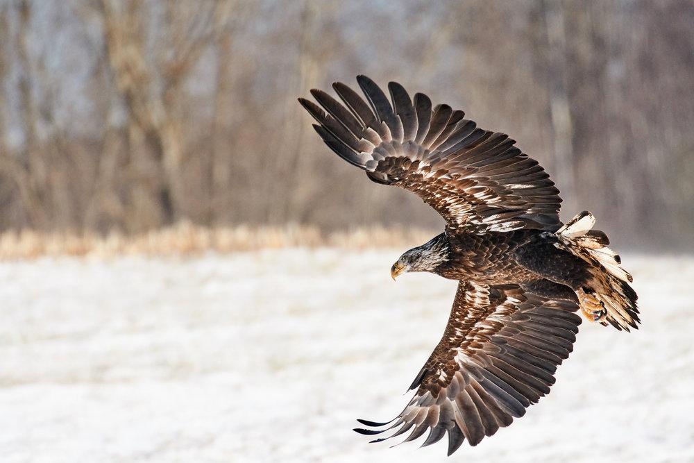 bald-eagle-sheffield-mills-ns-BRimages.ca