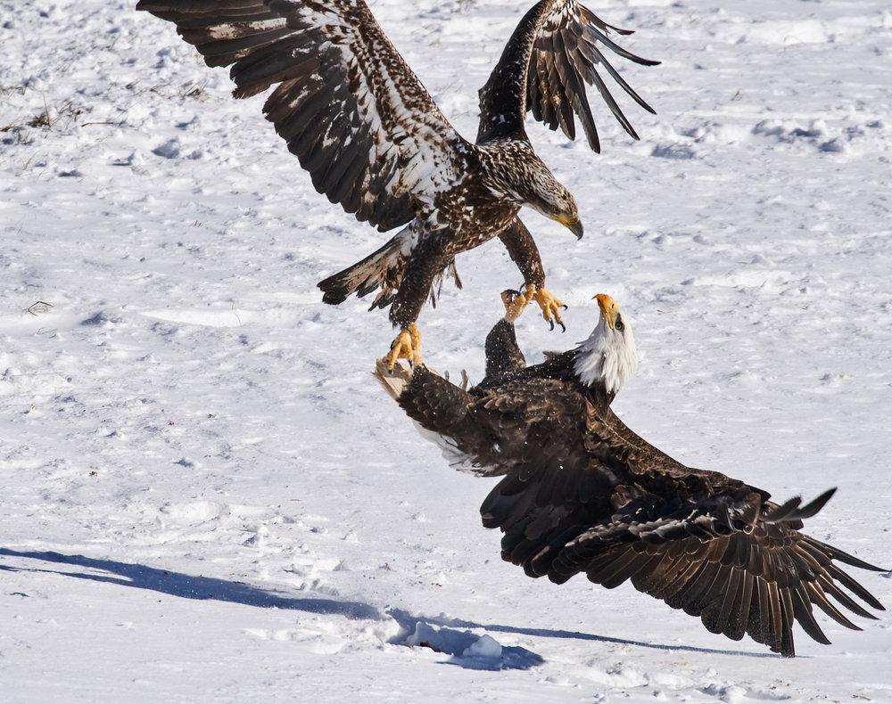 bald-eagle-squabble-sheffield-mills-ns-BRimages.ca