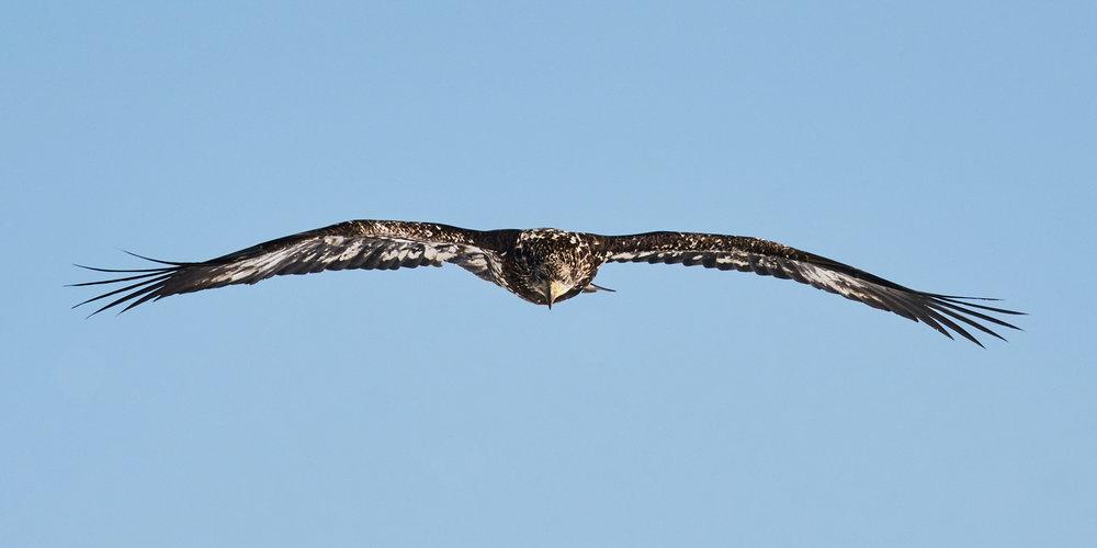 bald-eagle-flying-sheffield-mills-ns-BRimages.ca