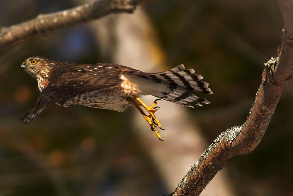 sharp-shinned-hawk-sheffield-mills-nova-scotia-canada