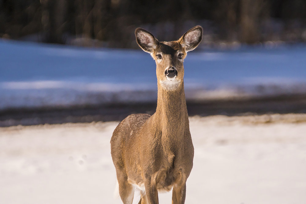 white-tailed-deer-new-brunswick-BRimages.ca