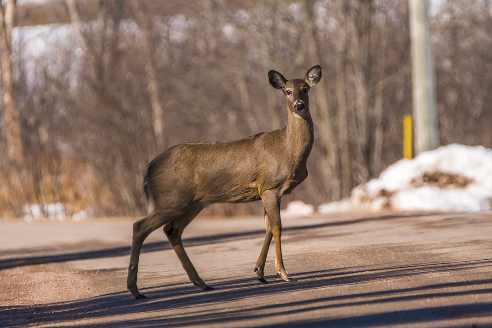 white-tailed-deer-new-brunswick(3)-BRimages.ca