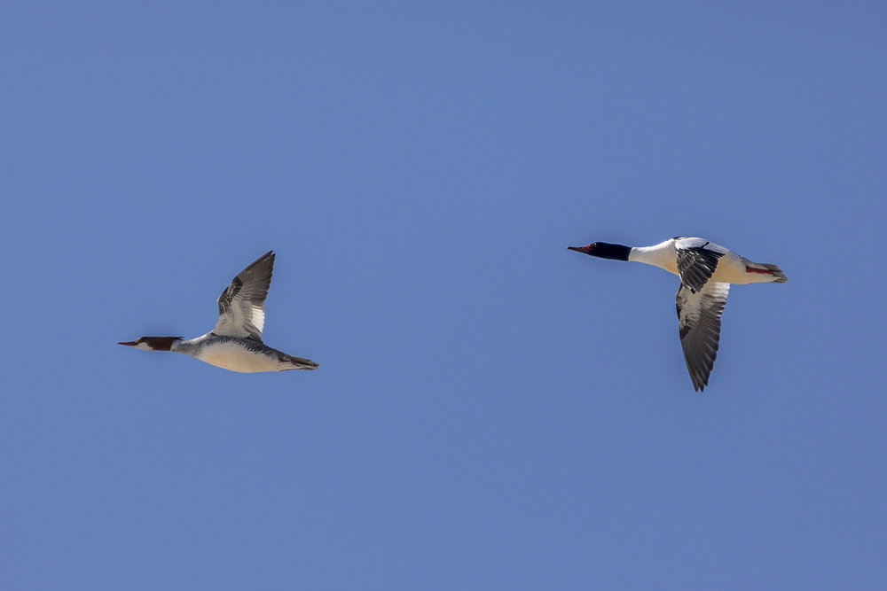 common-mergansers-flying-BRimages.ca