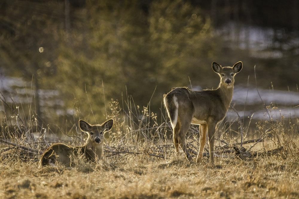 deer-in-morning-light-new-brunswick-canada-BRimages.ca