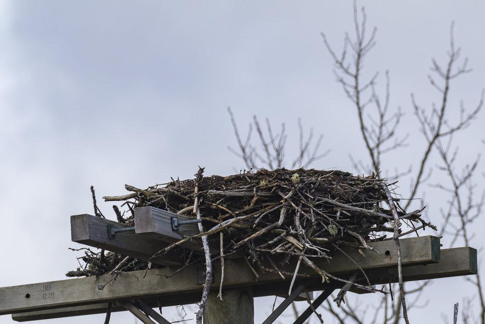 Osprey05-041818-BRimages.ca