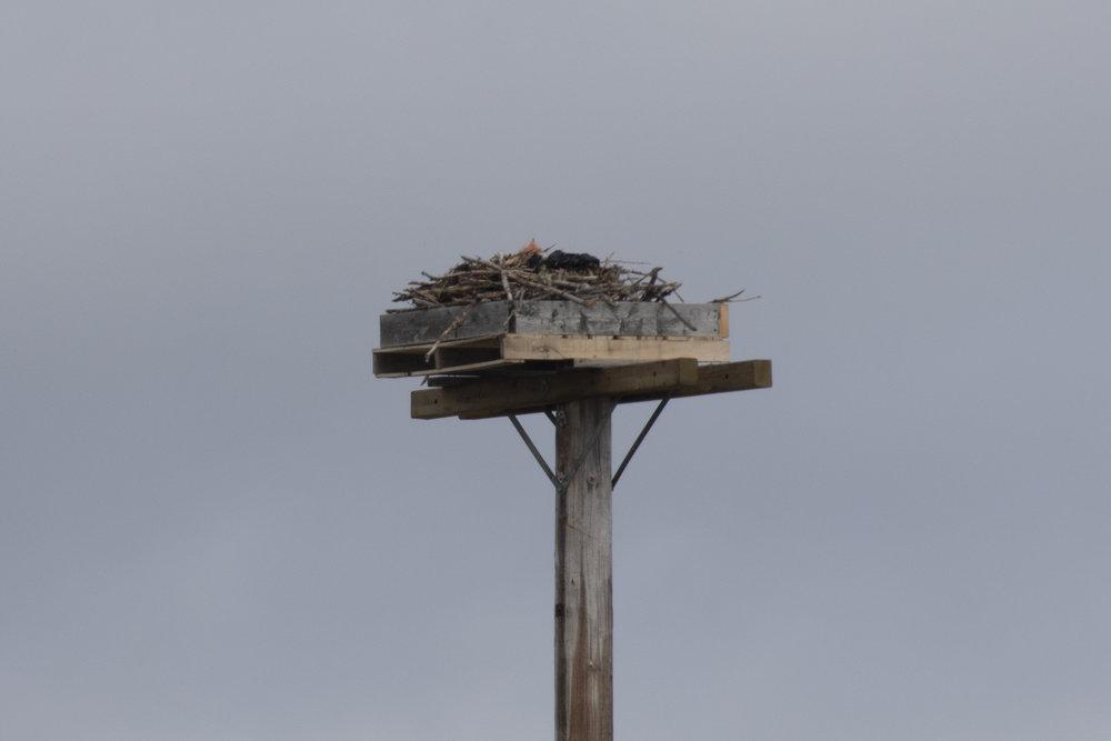 Osprey07-041818-BRimages.ca