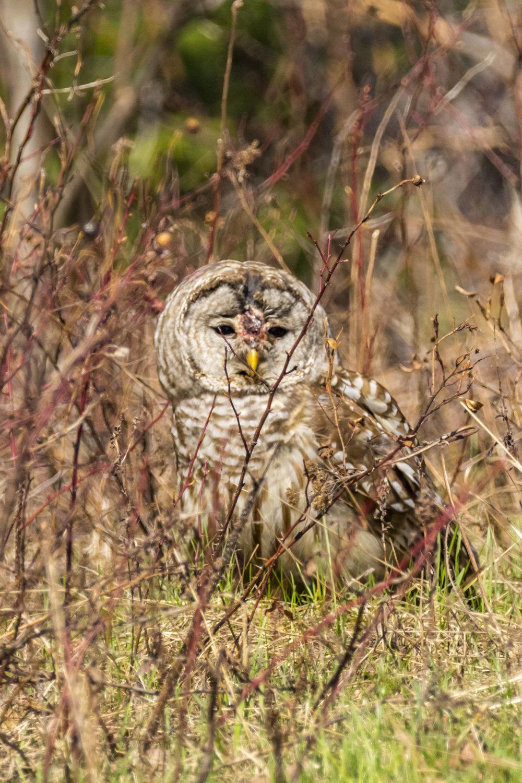 Owl1-BRimages.ca