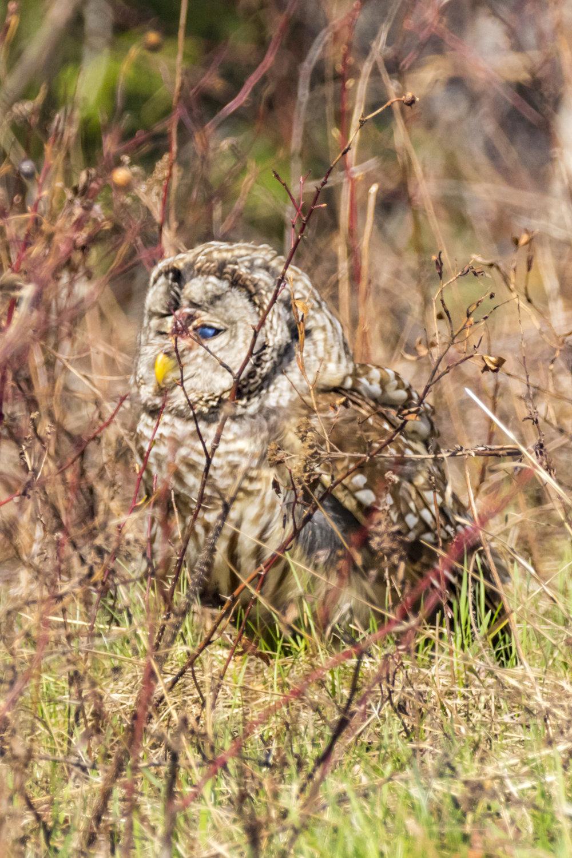 Owl2-BRimages.ca