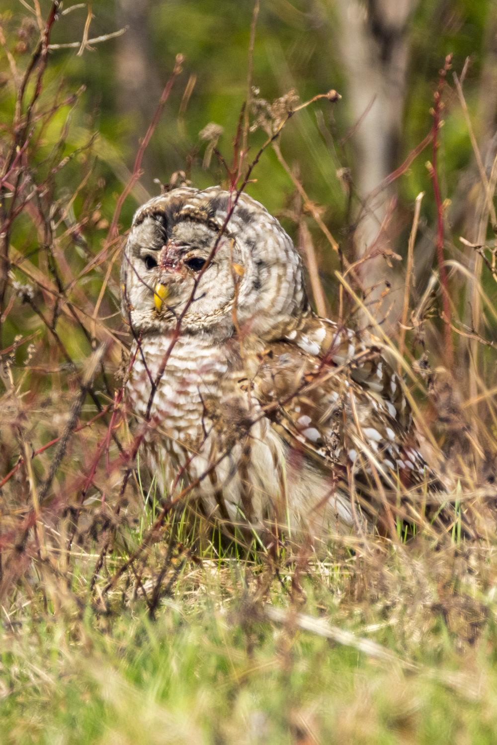 Owl3-BRimages.ca