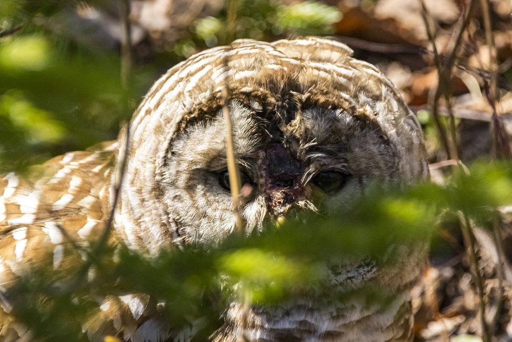 Owl4-BRimages.ca