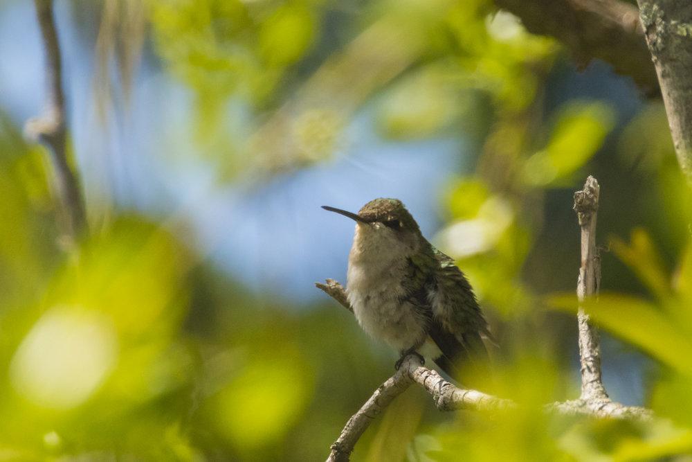 Hummingbird-BRimages.ca