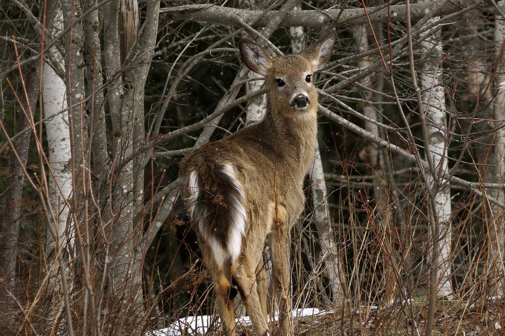 white-tailed-deer-BRimages.ca