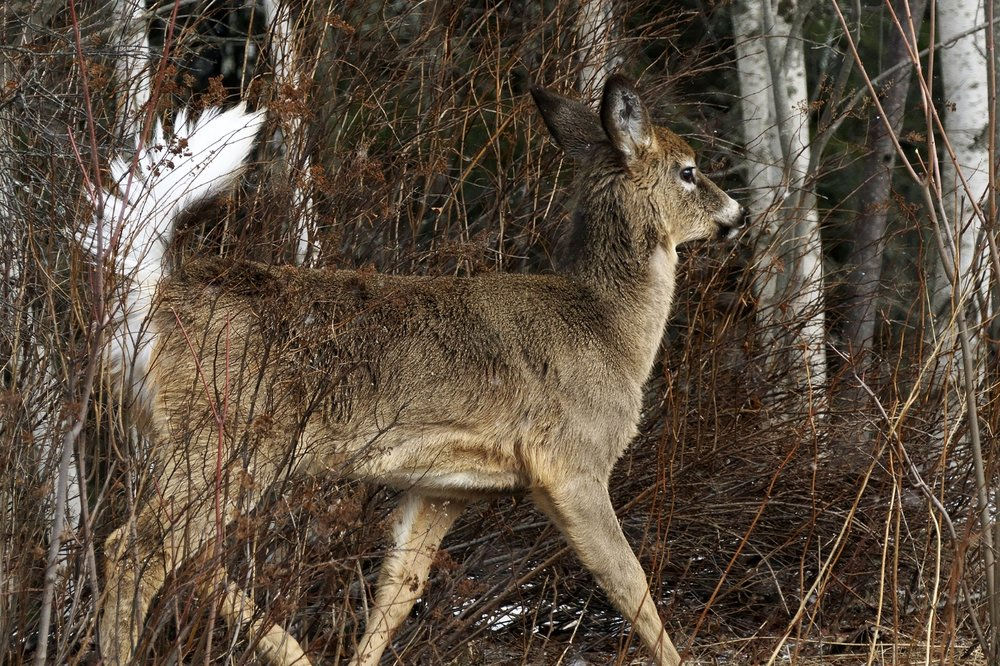 white-tailed-deer(2)-BRimages.ca