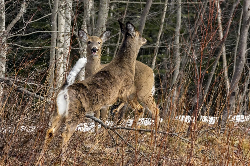 white-tailed-deer(3)-BRimages.ca