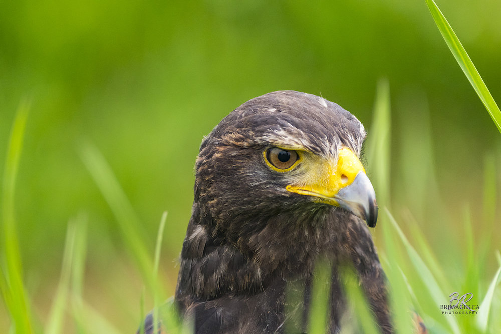 HarrisHawk-BRimages.ca