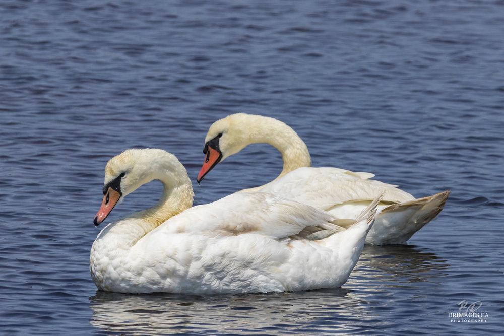 Mute_Swans_02-BRimages.ca