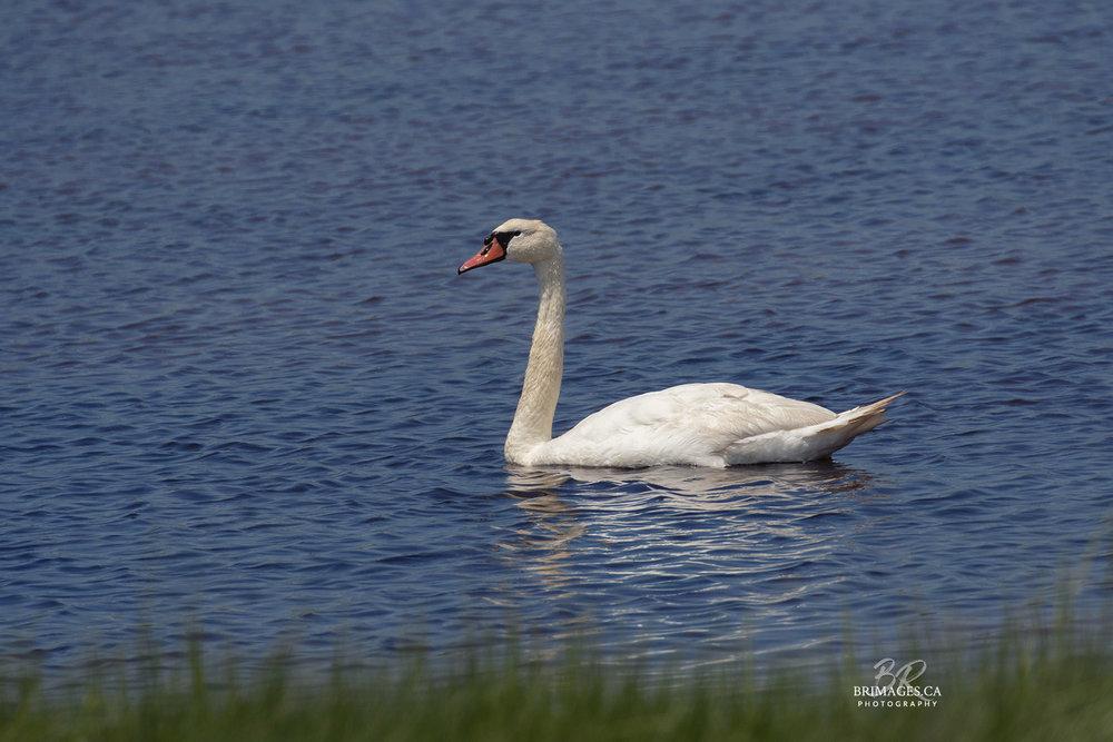 Mute_Swans_03-BRimages.ca