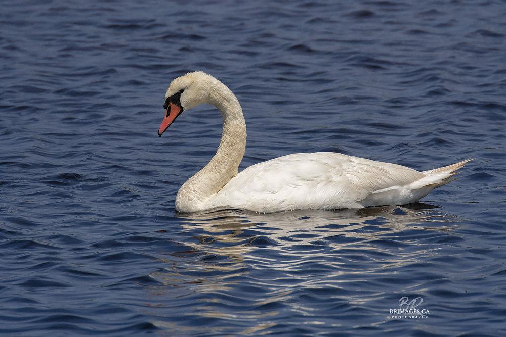 Mute_Swans_04-BRimages.ca