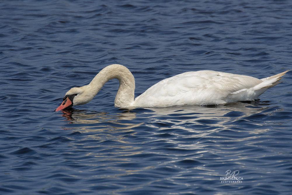 Mute_Swans_05-BRimages.ca