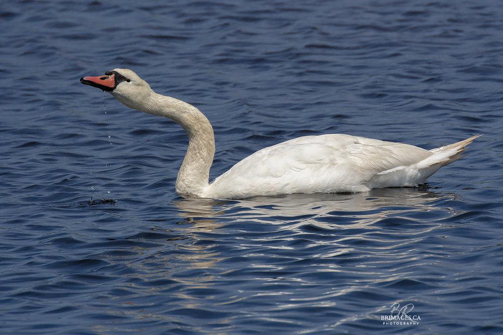 Mute_Swans_06-BRimages.ca