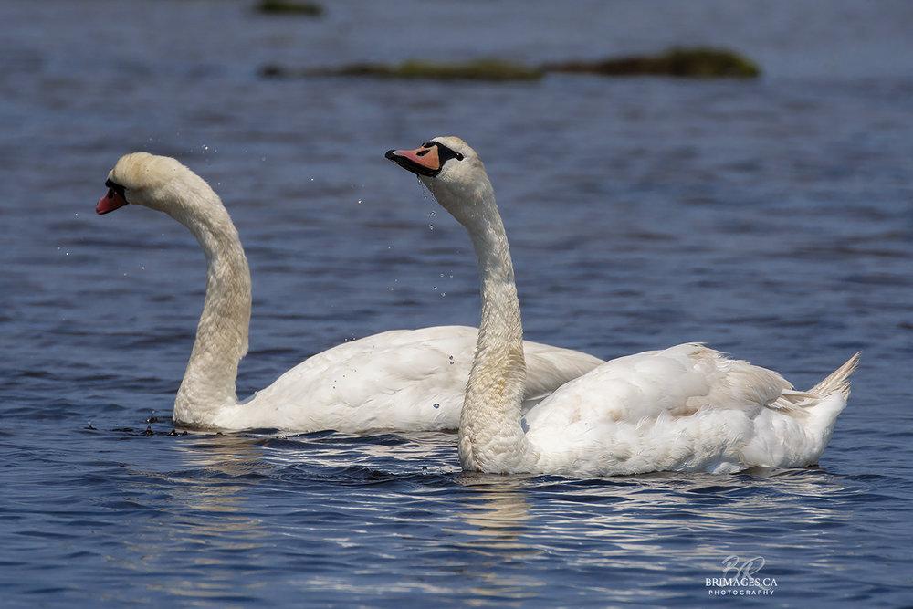 Mute_Swans_07-BRimages.ca