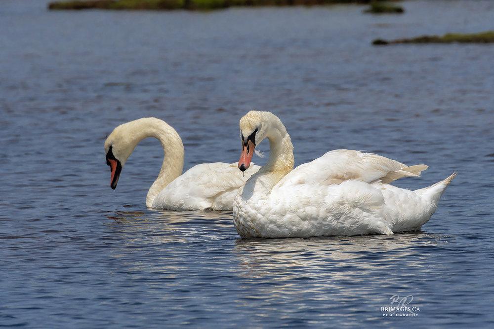 Mute_Swans_08-BRimages.ca