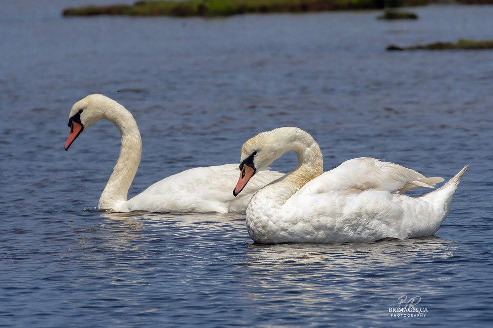 Mute_Swans_09-BRimages.ca