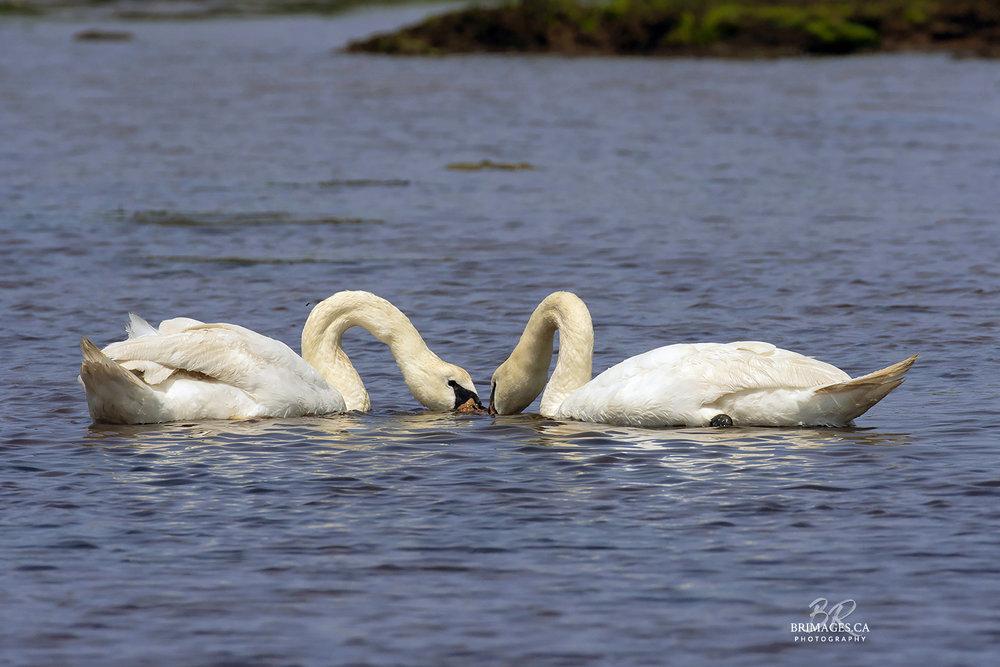 Mute_Swans_10-BRimages.ca