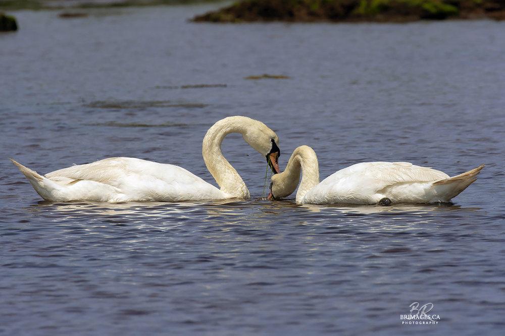 Mute_Swans_11-BRimages.ca