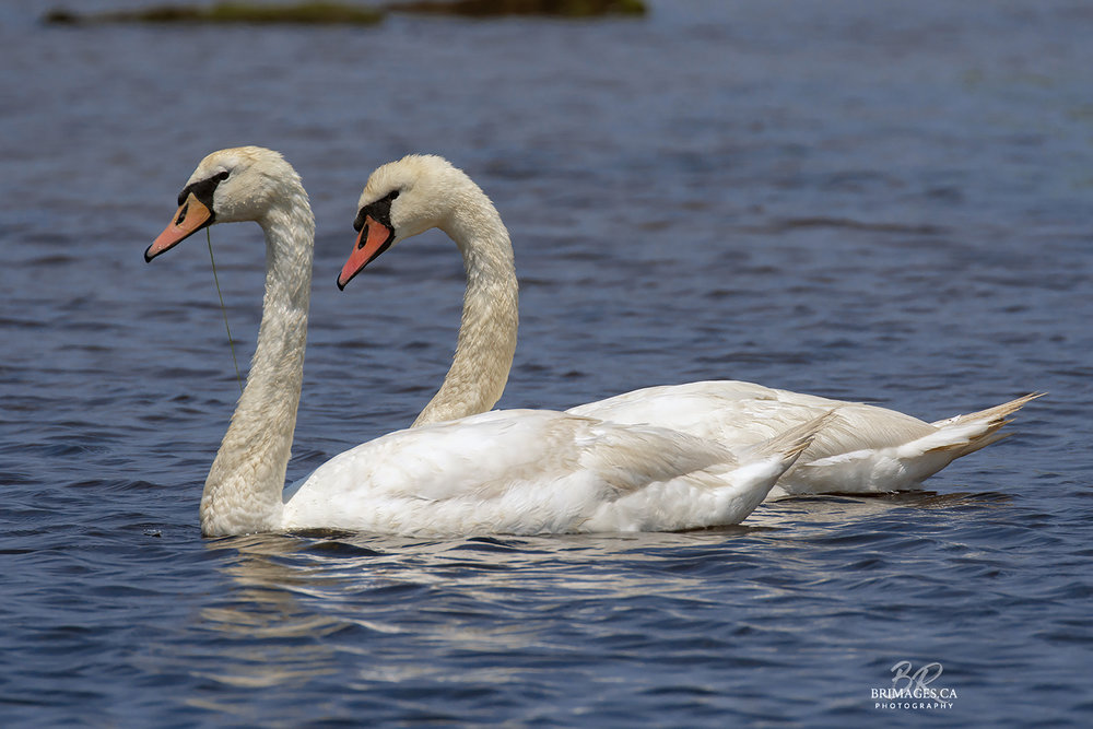 Mute_Swans_12-BRimages.ca