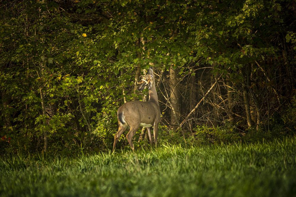 young-buck-deer-eating-new-brunswick-canada-brimages.ca