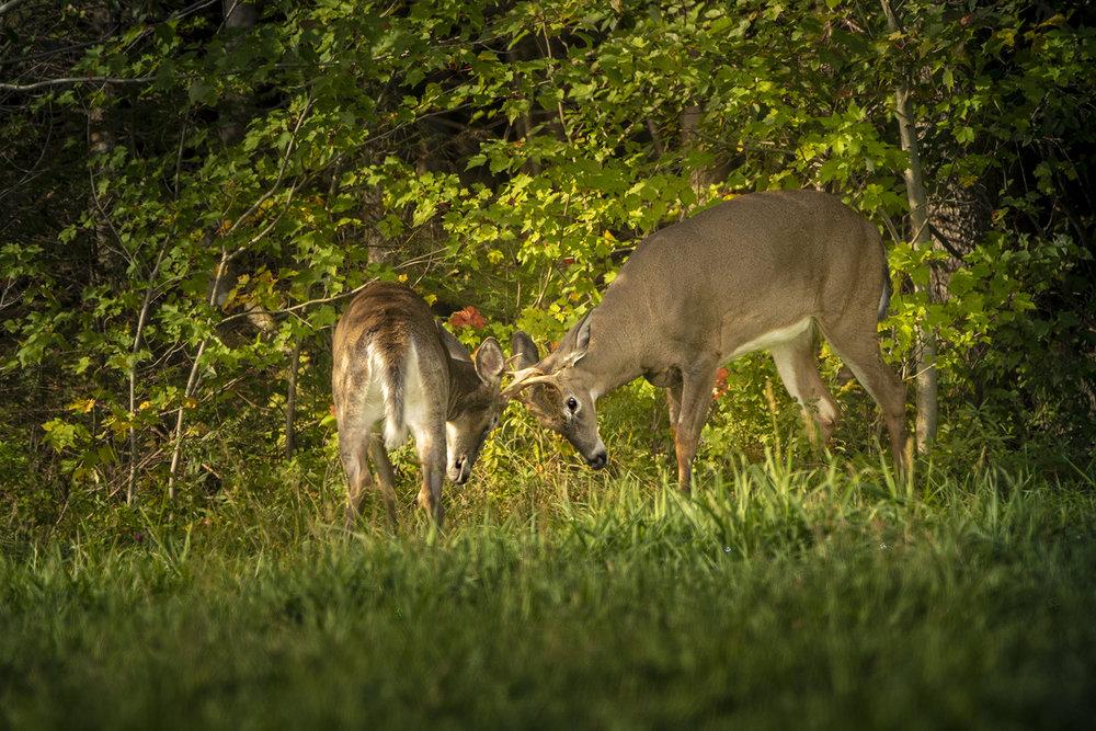 young-bucks-deer-rivals-new-brunswick-canada-brimages.ca