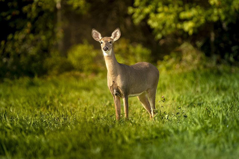 doe-deer-new-brunswick-canada-brimages.ca