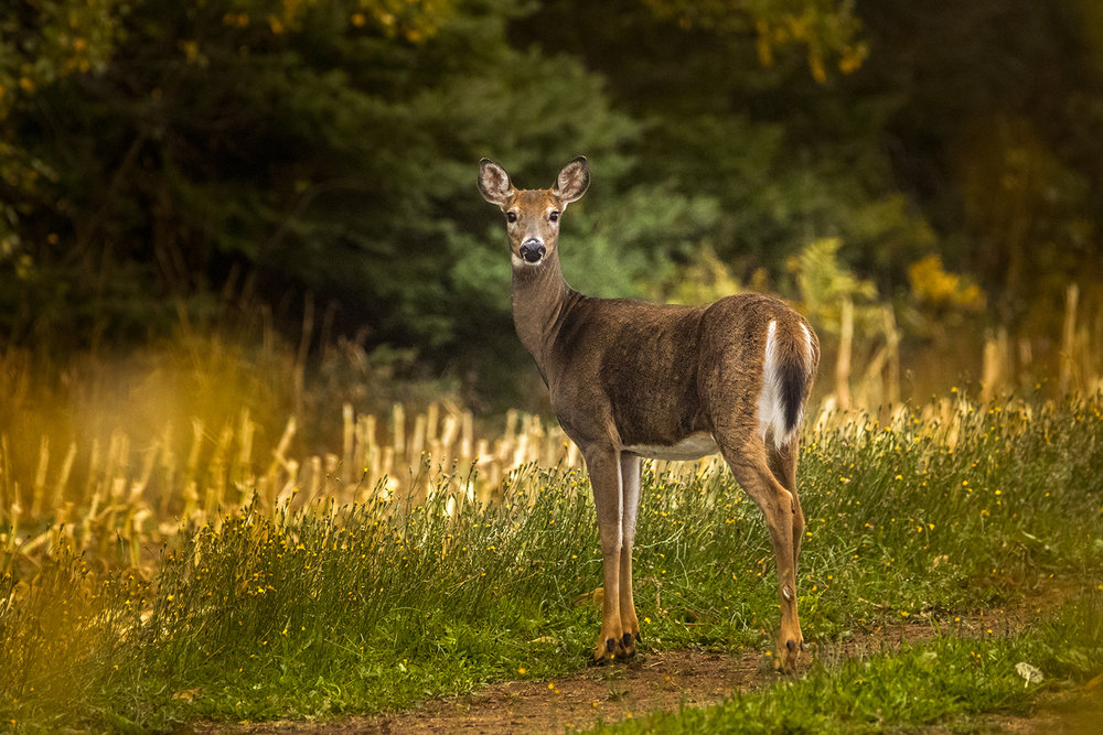 white-tailed-deer-doe-new-brunswick-canada-brimages.ca