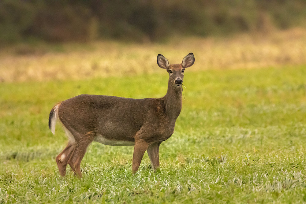 white-tailed-deer-doe-new-brunswick-canada-2-brimages.ca