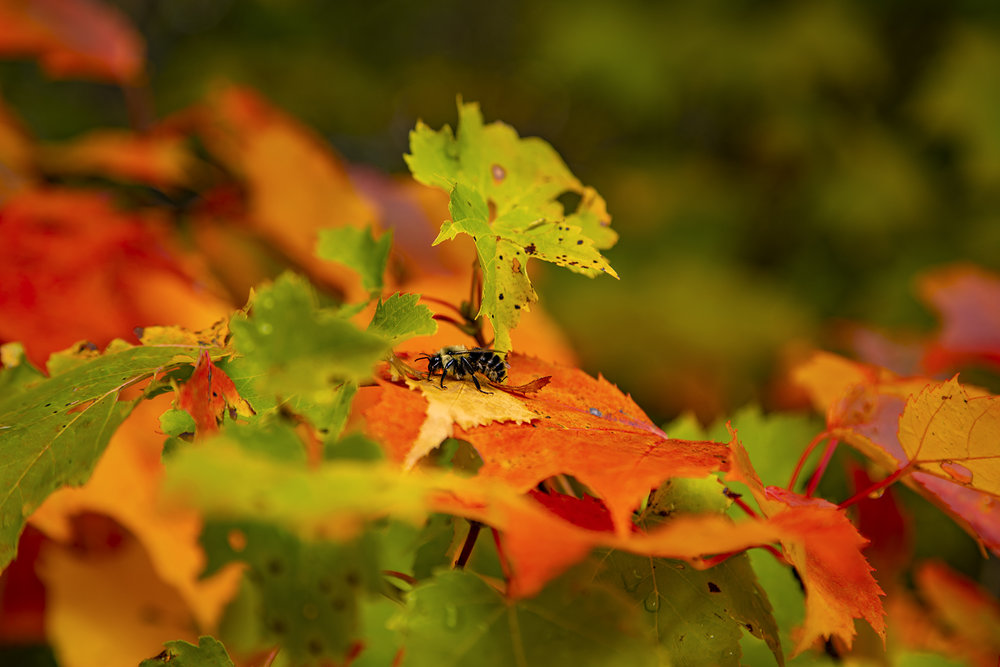 autumn-leaves-new-brunswick-canada-BRimages.ca