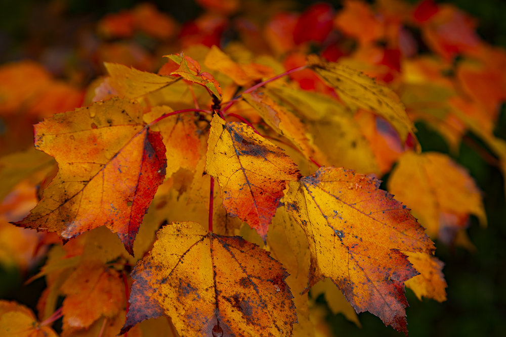 autumn-leaves-new-brunswick-canada-3-BRimages.ca
