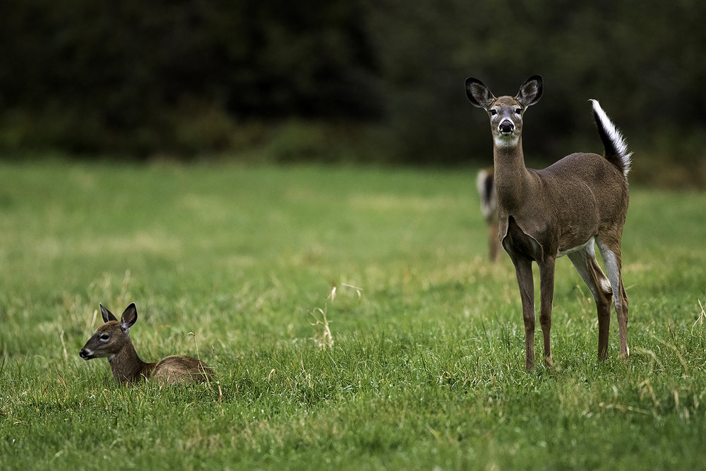 white-tailed-deer-and-fawn-new-brunswick-canada-2-BRimages.ca